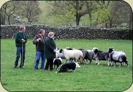 The Lake District Sheepdog Experience. Join  us and learn how to work with our trained sheepdogs. Its fun  for all the family