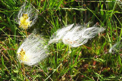 boggrass